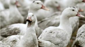 ظهور انفلونزا الطيور على الضفة الفرنسية لبحيرة جنيف