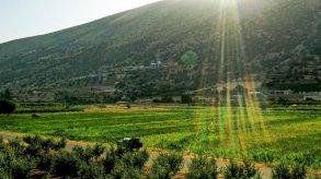 لبنانيون يستبدلون زراعة البطاطس بالحشيشة