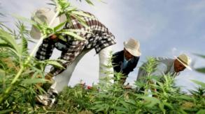 مزارعو القنب بالمغرب يأملون ببيع موسمهم دون خوف